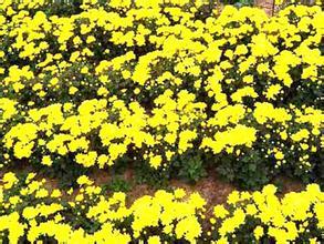 |地被菊|